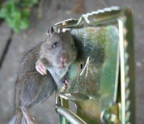 Tenes ratones en tu casa trampas caseras taringa - Ratones en casa ...