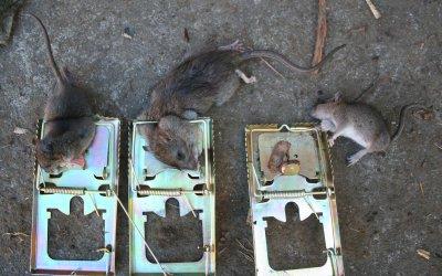 Roedores - El mejor veneno para ratones ...